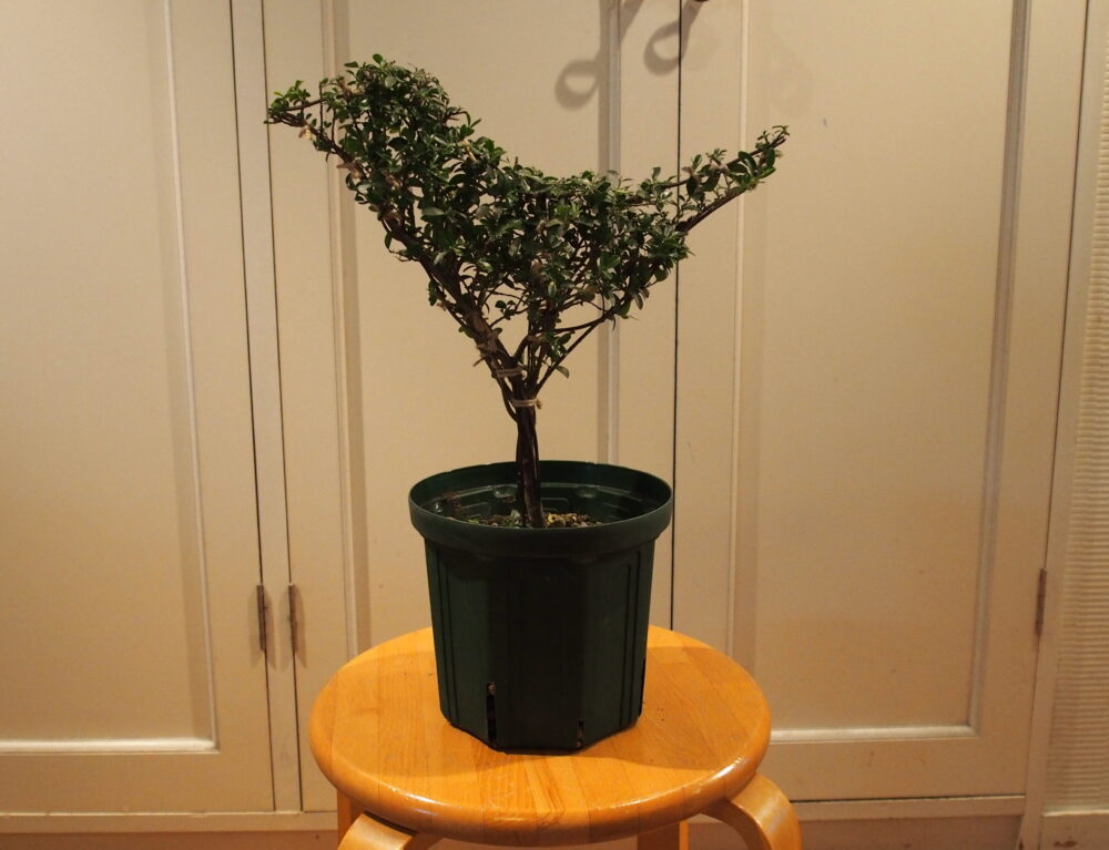 「植木のトピアリーを知ろう・作ろう!」講座開講